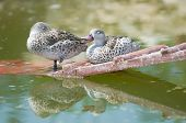 Cape Teal (Anas capensis)