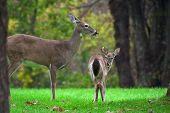 stock photo of bambi  - shenandoah national park - JPG