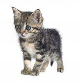 Askance Kitten