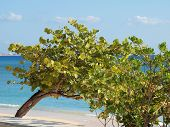 Sea Grape Tree Grand Cayman Beach