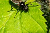 Black Fly (st. Marks Fly, Hawthorn Fly, Bibio Marci) Sits On A Green Leaf Macro poster