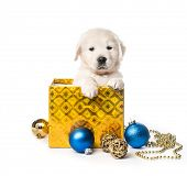 Cute golden retriever puppy in gift box with decorations isolated on white background poster