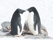 Two Adelie Penguins In The Nest.