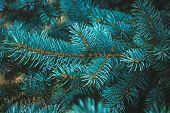 Spruce Blue Branch, Evergreen, Fir Coniferous Background. Frame Of Pine Needles Close-up. Pine-tree. poster