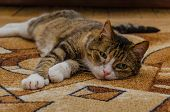 A Striped Domestic Cat With A Sore Eye Lies On A Colored Carpet. The Treatment Of Domestic Animals. poster