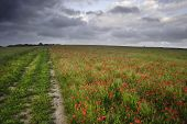 Vibrant Poppy Fields Under Moody Dramatic Sky