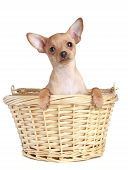 stock photo of watle  - Funny Toy Terrier puppy in watled basket on a white background - JPG