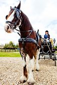 Woman driving a beautiful horse carriage - outdoors