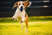 Beagle Dog Fun In Garden Outdoors Run And Jump With Ball Towards Camera. Dog Background. poster