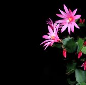 picture of epiphyte  - Epiphytic cactus bloom on the black background  - JPG