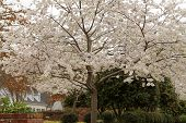 foto of memphis tennessee  - tree with white blossoms bursting into Spring season