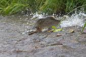 humpback salmon is ranning to the  spawning place