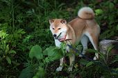 Young Pedigree Dog Resting On The Forest. Red Shiba Inu Dog Standing On A Background Of Green Grass. poster