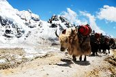 Group Of Yaks Carrying Goods Along The Route To Everest Base Camp In The Himalayan Mountains Of Nepa poster