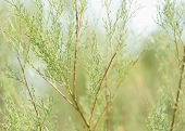 Evergreen Plant. Branches Of An Evergreen Bush poster
