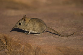 stock photo of shrew  - This Elephants Shrew was photographed in the Kruger National Park in South Africa - JPG