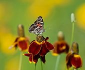 American Lady butterfly on Mexican hat flowers