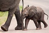 stock photo of herbivorous  - Baby elephant walking besides his mother with his trunk almost touching the ground - JPG