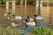 Ducks On Gacka River Spring, Croatia