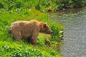 Kodiak Bear Staring Across The Pond