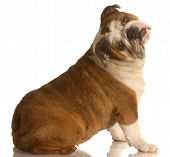 English Bulldog Sitting With Head Tilted