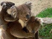 stock photo of koalas  - this is a portrait of a koala family - JPG