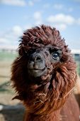Head of a funny Alpaca