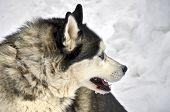 Close Up Of Siberian Husky On A Snow Background