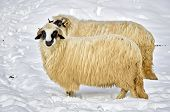 Two Purebred Domestic Fleecy Sheep In The Snow poster