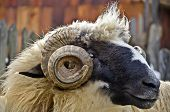 Close Up Of A Domestic Ram Head poster
