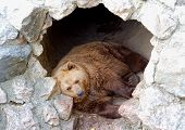 picture of sate  - Brown bear sleeping in his cave - JPG