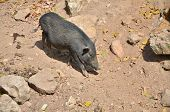 Wild Boar (sus Scrofa) In The Wild