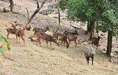 Grupo de ciervo Sambar en bosque