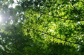 Green Maple Leaves In Summer