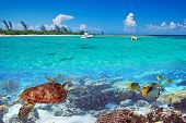 stock photo of yucatan  - Caribbean Sea scenery with green turtle in Mexico - JPG