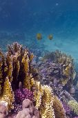 colorful coral reef with stony and fire coral and butterflyfishes on the bottom of red sea in egypt