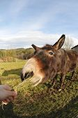 Head Of A Donkey Which Eating Grass Tuft