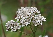Yarrow flower