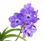 Vanda sansai blue orchid
