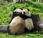 Giant Panda And Baby Hugging In Chengdu Breeding Centre, China