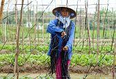 Farmer working on greens vegetables farm