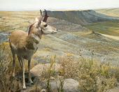 image of dimentional  - Three dimentional diorama of a young pronghorn buck - JPG