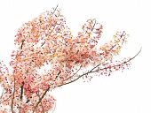 picture of cassia  - Pink Shower Blossom  - JPG