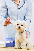 Veterinary treatment - vaccinating the Maltese dog, veterinary care concept
