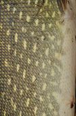 Side Pike. Skin Of A Fish With Scales.