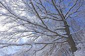 Snowy Tree Boughs Across Sky