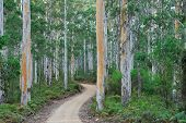 stock photo of eucalyptus leaves  - gravel road snaking into Karri forest in pre-dawn light