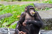 picture of chimp  - A chimpanzee  - JPG