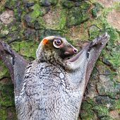 stock photo of southeast  - A Sunda flying lemur  - JPG