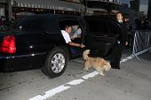 LOS ANGELES - MAR 5: Dogs arrive in a limousine at the premiere of 'Mr. Peabody & Sherman' at Regency Village Theater on March 5, 2014 in Los Angeles, California
